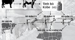 bò Kobe
